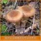 大量销售 野生毛尖蘑 野生蘑菇 毛尖蘑 毛尖蘑 蘑菇价格优惠